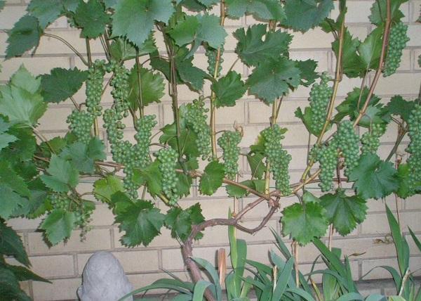 vinograd-bianka-opisanie-20E5BE.jpg
