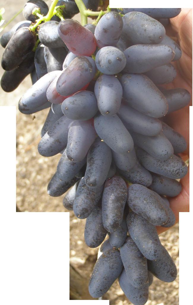 vinograd-suvenir-opisanie-5C90CE.png