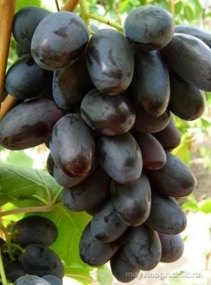 vinograd-velika-opisanie-E1B8.jpg
