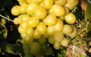 Виноград Восторг (мускатный, красный, черный, белый): описание сорта, выращивание и отзывы