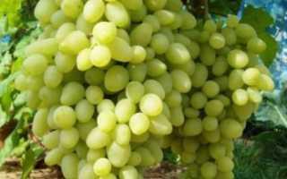 Виноград Пола: что нужно знать о нем, описание сорта, отзывы