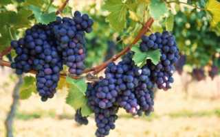 Виноград Фиолетовый ранний – описание сорта, особенности выращивания и отзывы