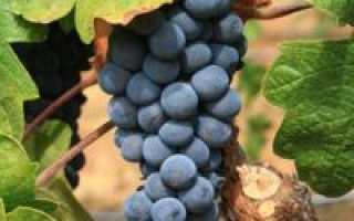 Виноград Изабелла: посадка и уход в подмосковье, как обрезать и укрывать на зиму