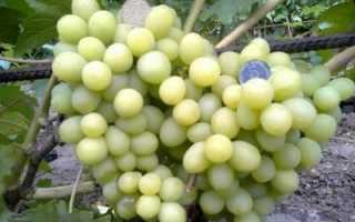 Виноград Валек: описание и характеристика сорта, выращивание и фото