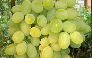 Виноград Феномен: описание сорта с фото и отзывами, выращивание и уход