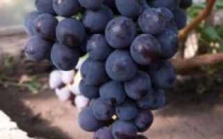 """Виноград """"Забава"""" (Лора чёрная): описание сорта и его особенностей"""