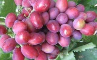 Виноград Дунав описание и характеристика сорта