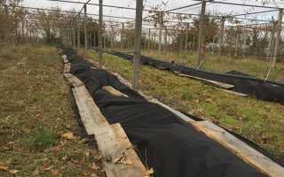 Сорт винограда Ришелье: что нужно знать о нем, описание сорта, отзывы