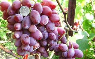 """Виноград """"Водограй"""" – гибридный сорт, его характеристика и описание"""