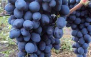 Виноград Сфинкс: описание особенностей сорта, уход, выращивание