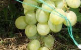 Сорт винограда «Княгиня Ольга» : характристика и описание особенностей с фото и отзывами