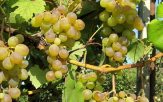 Виноград Галбена ноу (Золотинка): описания сорта, особенности выращивания