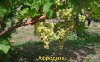 """Виноград кишмиш """"Афродита"""" – описание и особенностей сорта"""