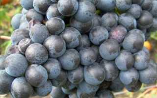 Виноград «Память Домбковской»: описание и особенности сорта с фото и отзывами