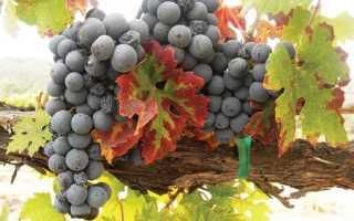 Виноград Примитиво (Зинфандель): что нужно знать о нем, описание сорта, отзывы