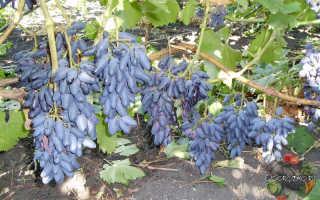 Виноград Прометей: что нужно знать о нем, описание сорта, отзывы