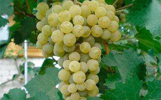 Виноград Ранний Магарача: что нужно знать о нем, описание сорта, отзывы