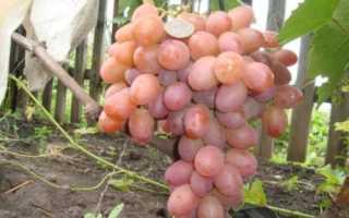 Виноград Хамелеон: описание сорта, характеристика, особенности и отзывы с фото