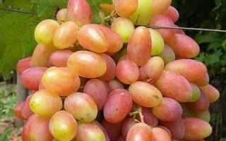 Виноград Юбилей Новочеркасска: описание сорта, выращивание и уход