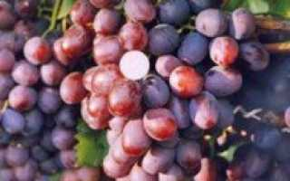 """Виноград """"Томайский"""": описание сорта, характеристика гроздей и особенности выращивания"""