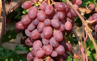 Виноград Виктория: характеристика и описание сорта, выращивание и уход