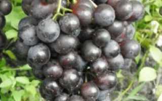 Виноград Космонавт – характеристика сорта, описание гроздей и особенности ухода