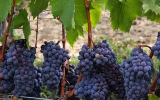 Виноград Альфа –  характеристика сорта, описание достоинств и особенностей