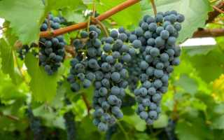 Виноград Таежный: описание сорта, особенности выращивания