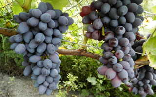 Виноград Юпитер: характеристика и описание сорта, уход, выращивание и отзывы