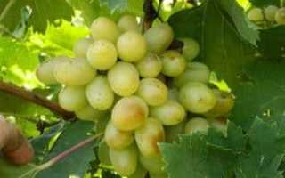 "Виноград ""Триумф"": характеристика и описание сорта"