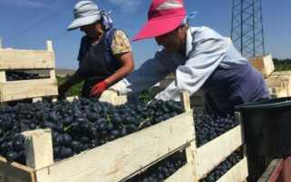 Виноград Осенний Черный: что нужно знать о нем, описание сорта, отзывы