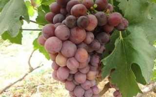 Виноград Персия: что нужно знать о нем, описание сорта, отзывы