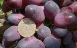 """Виноград """"Красотка"""": описание столового сорта, особенности выращивания, ухода и отзывы с фото"""
