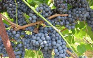 Виноград Регент: что нужно знать о нем, описание сорта, отзывы