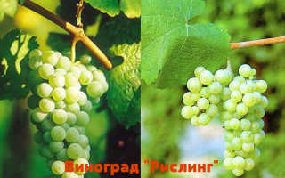 Виноград Рислинг: характеристика и описание сорта, достоинства, особенности