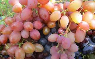 Виноград Сенсация: характеристика и описание сорта, уход и віращивание