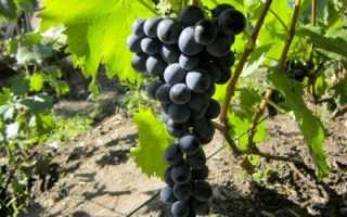 Виноград «Ливадийский черный»: описание и характеристика сорта, особенности выращивания
