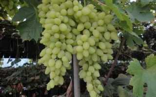 """Виноград """"Долгожданный"""": описание сорта, особенности выращивания и ухода с фото"""
