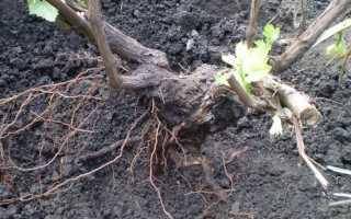Как пересадить виноград на другое новое место осенью