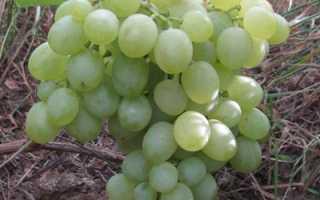 """Виноград """"Белое чудо"""" – описание сорта винограда, уход, выращивание и отзывы"""