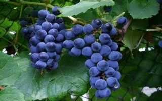 Виноград «Зилга»: описание сорта, его выращивание и использование