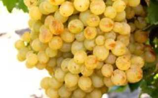 Виноград Пламя: что нужно знать о нем, описание сорта, отзывы