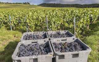 Виноград Пино черный: что нужно знать о нем, описание сорта, отзывы