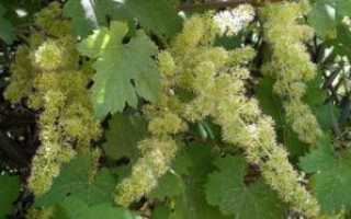 Можно ли опрыскивать виноград во время цветения и после – уход, обработка и подкормка