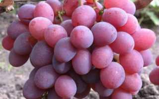 Виноград «Памяти хирурга»: описание сорта с фото, характеристика урожая
