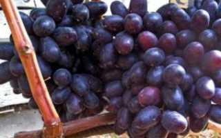 "Виноград ""Хаджи Мурат"": описание и характеристика сорта"