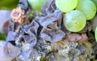 Серая гниль на винограде: как бороться, чем лечить, симптомы и причины болезни