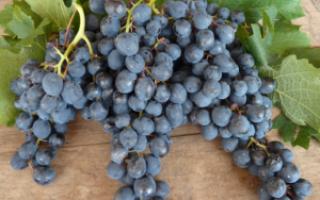 Виноград Саперави: описание сорта, выращивание, уход, использование и отзывы