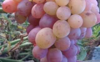 Виноград Рубин Голодриги: что нужно знать о нем, описание сорта, отзывы