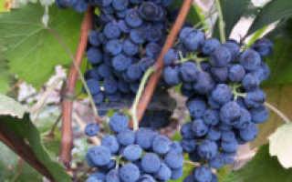 """Виноград """"Денисовский"""": характеристика технического сорта и описание особенностей выращивания"""
